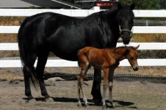 Blackstar-and-Badger-filly