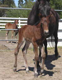 Joker, 2005 OGO Morgan Foal