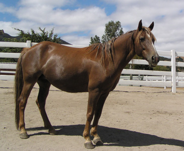TK Maullie Brown Morgan Mare